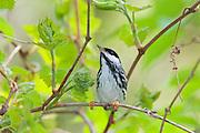 Blackpoll Warbler, Setophaga striata, male, Magee Marsh, Ohio