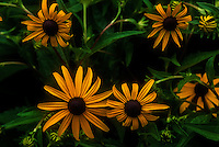 Blackeyed Susan 3