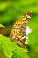Silvery Checkerspot - Hodges#4490 (Chlosyne nycteis)<br /> United States: Alabama: Tuscaloosa Co.<br /> Moundville Archaeological Park; Moundville<br /> 22-Apr-2017<br /> J.C. Abbott #2937