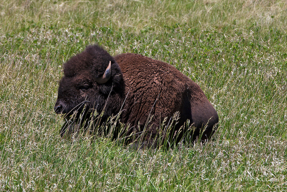 American Bison / Buffalo (Bison bison) sitting in a grassy field, Wind Cave National Park, South Dakota, United States of America