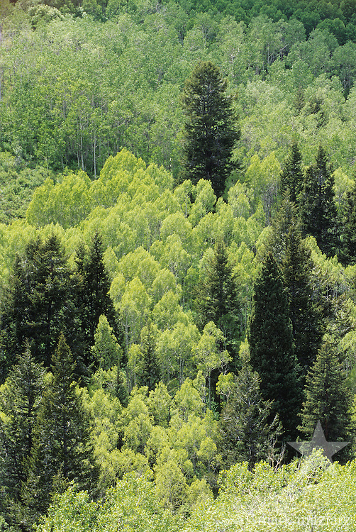 conifers and aspen in mixed stand of trees