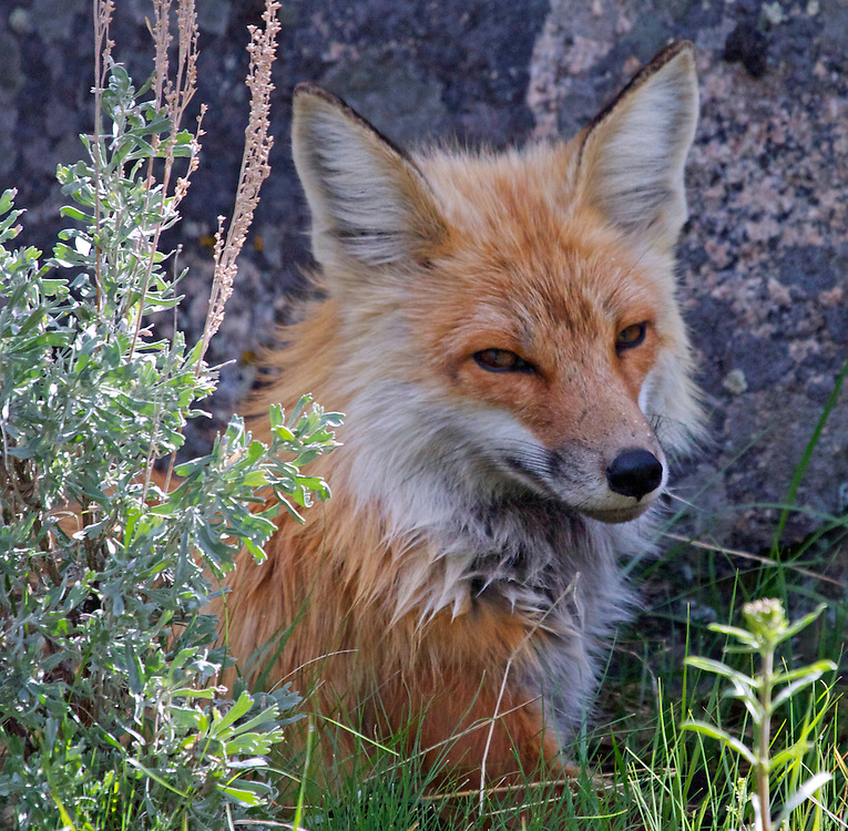 Red Fox, Yellowstone National Park