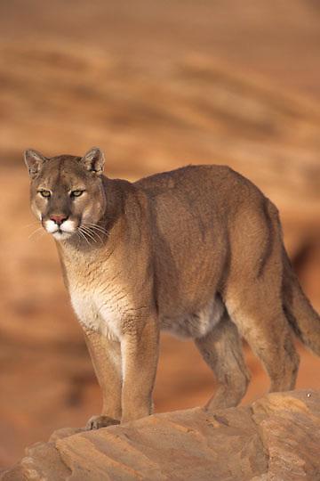 Mountain Lion or Cougar, (Felis concolor) Northern Arizona. Captive Animal.