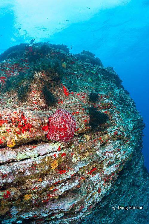 cushion star, Culcita novaeguineae, on pinnacle at Vertical Awareness dive site, Lehua Rock, off Niihau, Hawaii ( Central Pacific Ocean )