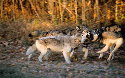 Gray Wolf, (Canis lupus) In hardwood forest of northern Minnesota, running. Fall. Captive Animal.