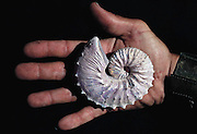 A very fine example of a fossilized ammonite (Hoploscathite). Although the shell itself has not been preserved, the internal nacre has survived, giving the opalescent 'mother of pearl' coating. Ammonites were a subclass of marine mollusks, which had a well-defined head with tentacles for feeding. They first appeared in the Lower Devonian period (400 million years Before Present), becoming extinct by the Upper Cretaceous period (65 million years BP). (1991)