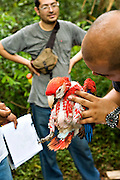 Examining Scarlet Macaws in the field in Guatemala
