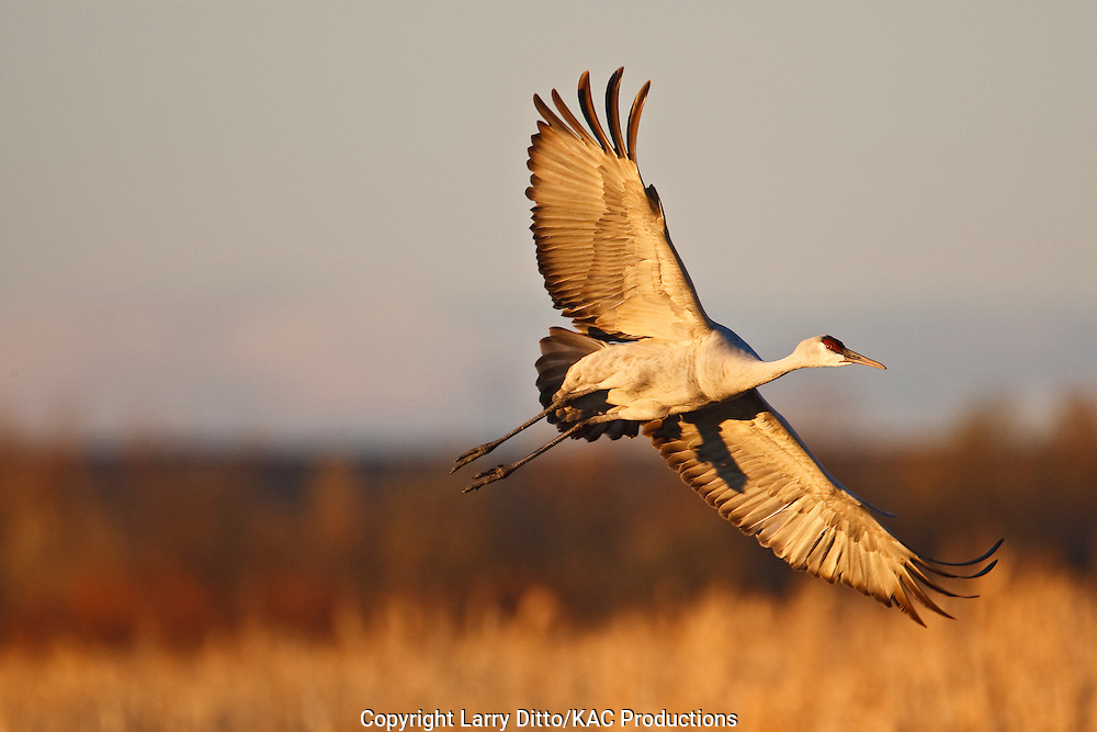 Sandhill Crane (Grus canadensis) adult landing in corn field at Bosque del Apache National Wildlife Refuge at sunset, winter near Socorro, New Mexico, USA