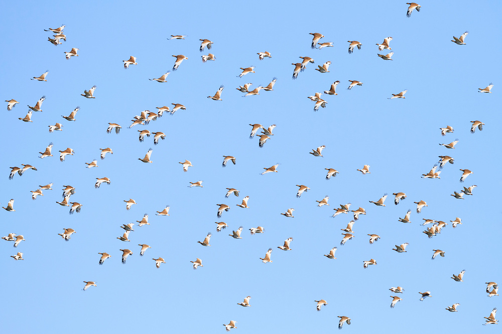 Winter flock of Little Bustard (Tetrax tetrax) in flight. Lleida province. Catalonia. Spain.