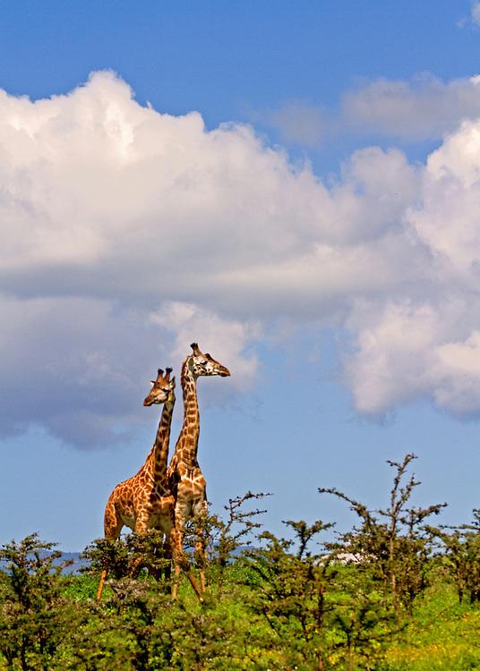 Two giraffes (Giraffa camelopardalis) standing among small acacia trees