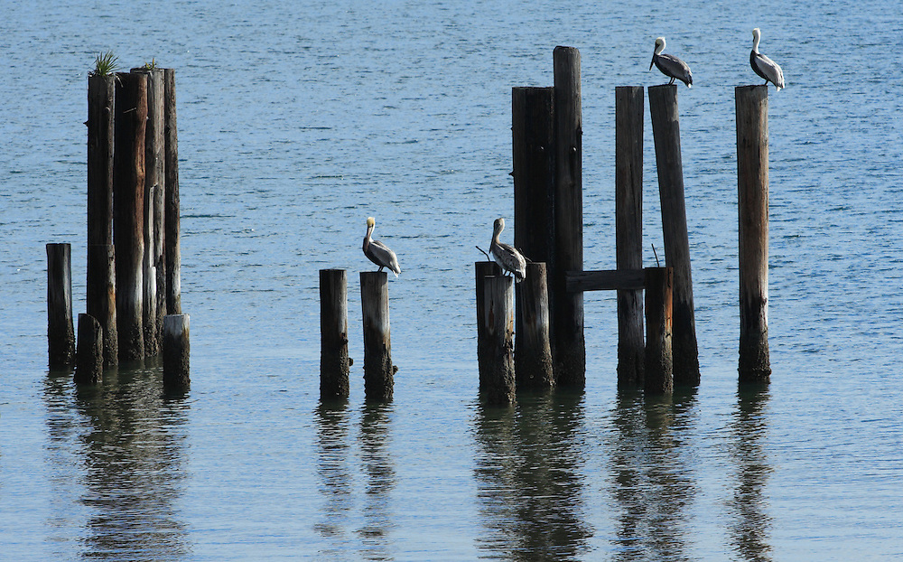 Pelicans On Pilings, St. George Sound, FL