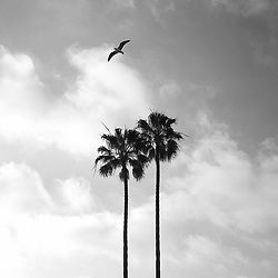 Palm trees and seagull in Laguna Beach, CA.