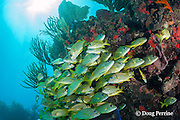 French grunts, Haemulon flavolineatum,  school under a ledge, Playa del Carmen, Cancun, Quintana Roo, Yucatan Peninsula, Mexico ( Caribbean Sea )