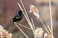 Male Red-winged Blackbird (Agelaius phoeniceus) peched in catkins Petite Riviere, Broad Cove, Canada,