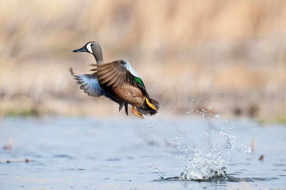 Blue-winged Teal, Anas discors, male, McPherson County, South Dakota