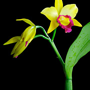 A brightly colored yellow Netrasiri Gold orchid from Thailand of the cattleya species