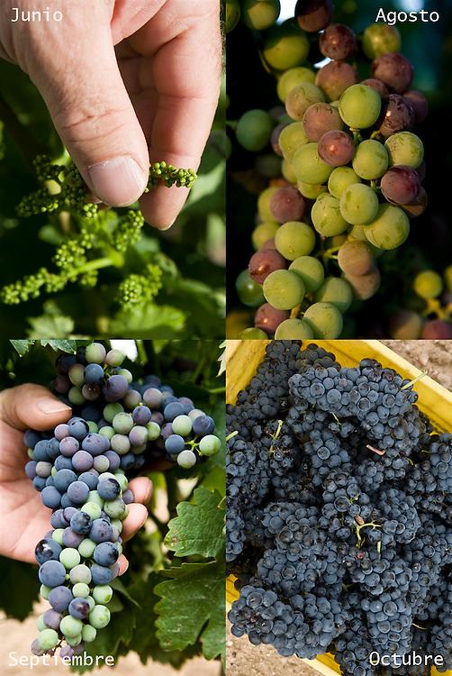Ribera del Duero grape evolution from spring to harvest time.<br /> <br /> Evoluci&oacute;n de la uva en Ribera del Duero desde la primavera hasta el momento de la vendimia en invierno.