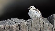 """The Snow Bunting,Plectrophenax nivalis, sometimes colloquially called """"snowflake"""", is a passerine  bird in the bunting family Emberizidae. It is an arctic specialist, with a circumpolar Arctic breeding range throughout the northern hemisphere. These photos are taken in Grimsey, Iceland"""