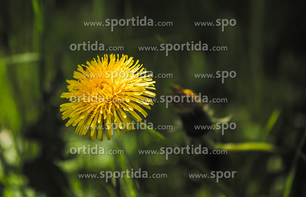 THEMENBILD - die gelbe Blüte einer Löwenzahnblume, aufgenommen am 23. Mai 2019, Kaprun, Österreich // the yellow blossom of a dandelion flower view on 2019/05/23, Kaprun, Austria. EXPA Pictures © 2019, PhotoCredit: EXPA/ Stefanie Oberhauser
