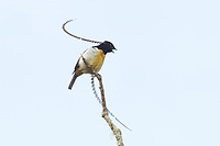 King of Saxony Bird of Paradise (Pteridophora alberti)<br />adult male on calling perch above canopy.