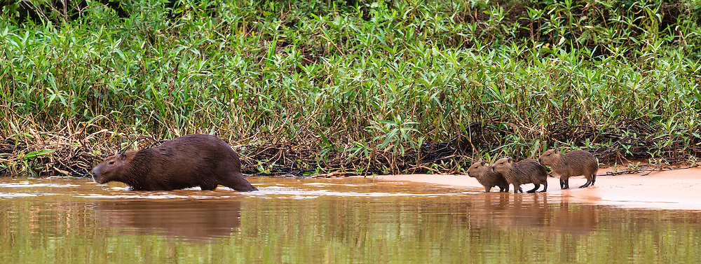 While we watched a Jaguar relax, the Capybara family showed up across the river from the Jaguar.  The Jaguar was very interested, but he knew he could not make it across the river before they moved on.
