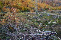 Chunk of clear cut  Common beech (Fagus sylvatica) forest at 1.100 m elevation in the Southern Carpathians, Mehadia, Caras Severin, Romania.