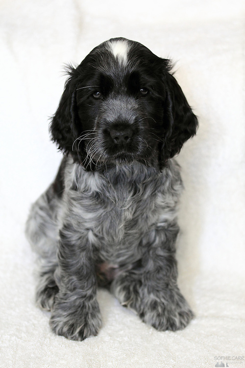 Aninimal Book: Blue Roan Cocker Spaniel Puppy | Sophie Carr Photography
