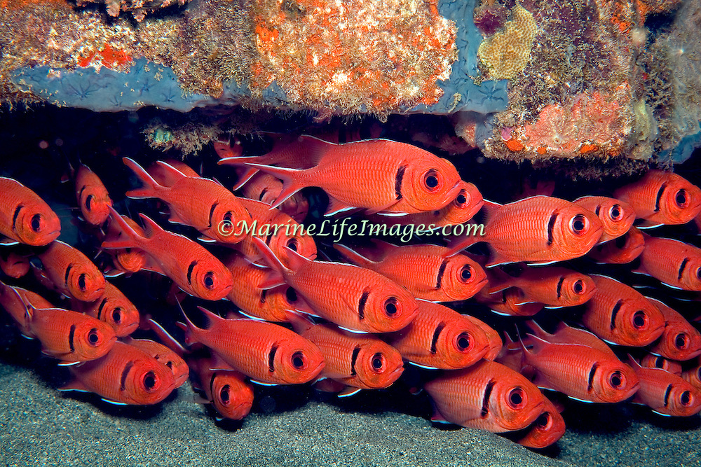 Blackbar Soldierfish inhabit reefs, commonly hide in dark recesses in large schools, in Tropical West Atlantic; picture taken Dominica.