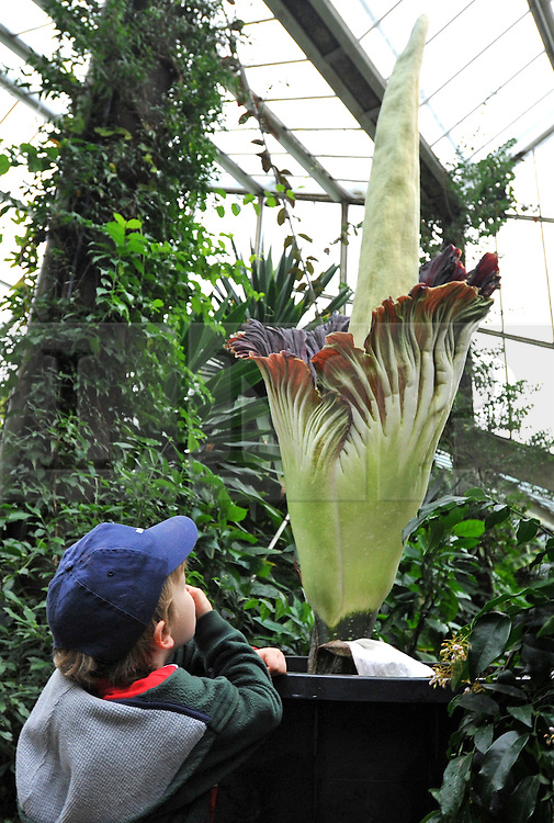 "©London News pictures...27/10/2010.  Matthew Phillips aged 5 studies the flower whilst holding his nose. The 'flower' that smells like rotting meat is flowering today in its full smelly bloom. The display could last for two more days - titan arums are usually spent within three days of flowering. This morning, the flower began to unfurl and reveal it's blood-red interior. The pungent aroma has slowly spread around the Princess of Wales Conservatory, described as a mixture of rotting flesh and boiled cabbage. This strong smell has earned titan arum the name of 'corpse flower'. Phil Griffiths, Head of Glasshouses, at Kew Gardens said, ""The titan arum is one the most dramatic flowerings in the natural world and is truly remarkable. They usually only last for three days so visitors should get down to the Gardens as soon as they can to see the first of the titan arums in bloom"". The titan arum is the world's largest 'flower' and is native to Sumatra where it lives in moist rainforest conditions. In the wild, its enormous red flower and pungent aroma becomes an irresistible invitation to sweat bees and carrion flies."