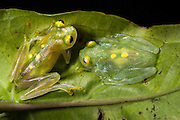 Glass Frogs (Hyalinobatrachium aureoguttatum) CAPTIVE<br /> Chocó Region of northwest Ecuador on Colombian Border<br /> ECUADOR. South America<br /> Threatened species due to habitat loss.<br /> RANGE: Northern Ecuador, Colombia north to Panama