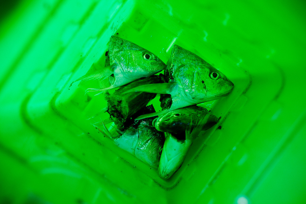 The decapitated heads of croaker fish lie in a bucket in Smithfield, Virginia after being cleaned for eating.