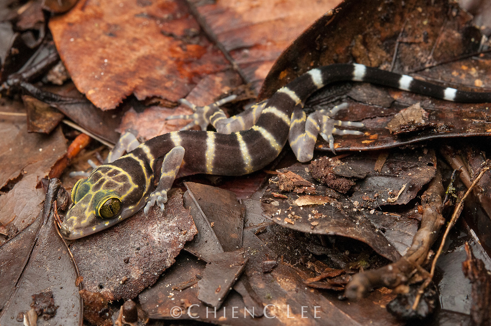 Peter's Bent-toed Gecko (Cyrtodactylus consobrinus) is a large boldly-colored species occurring in the lowland rainforests of Malaysia, Sumatra, and Borneo.