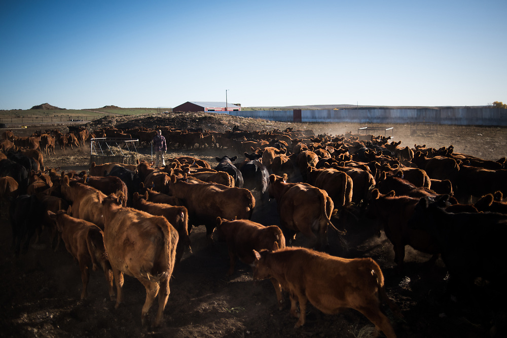 Cows and calves circulate in a pen prior to being sorted for weaning on the Besler ranch west of Bison, SD on October 7, 2017.