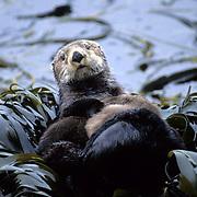 Sea Otter, (Enhydra lutris) Mother and baby resting among rocks and seaweed. Aleutian Islands. Alaska.