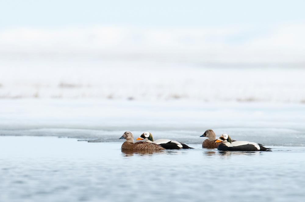 Spectacled Eiders, Somateria fischeri, Yukon Kuskokwim Delta NWR, Alaska