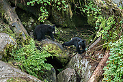 Two American black bear cubs explore rock outcroppings in the temperate rain forest at Anan Creek in the Tongass National Forest, Alaska. Anan Creek is one of the most prolific salmon runs in Alaska and dozens of black and brown bears gather yearly to feast on the spawning salmon.