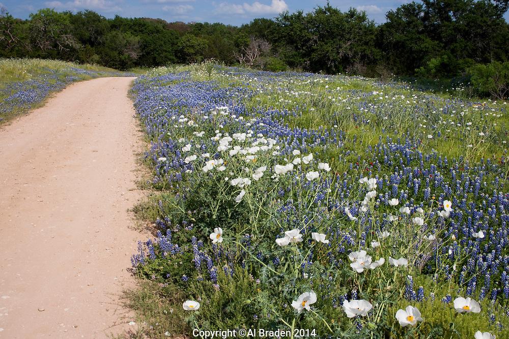 Bluebonnet, (Lupinus texensis), Threadgill Creek Rd., Mason County, Texas