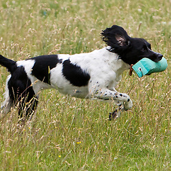 The scurry organised by Kirkbourne Spaniels