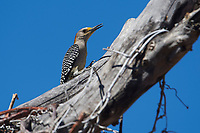 Golden-fronted Woodpecker (Melanerpes aurifrons) perched in a dead tree, Jocotopec, Jalisco, Mexico