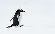 Gentoo penguin (Pygoscelis papua) at Mikkelsen Harbor, Trinity Island, Antarctica
