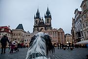 "English Setter ""Rudy"" am 22.11. 2018 auf dem Altstaedter Ring in Prag. Rudy wurde Anfang Januar 2017 geboren."