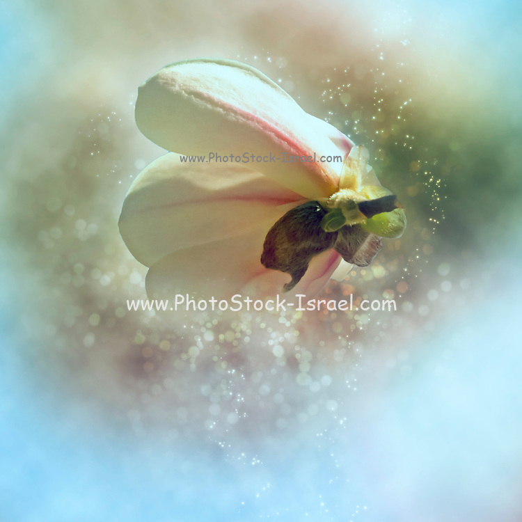 Magnolia (Magnolia x loebneri 'Merrill') flowers. Digitally enhanced image