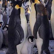 Emperor Penguin, (Aptenodytes forsteri) Adult and chick on Riiser Larsen ice shelf. Antarctica.