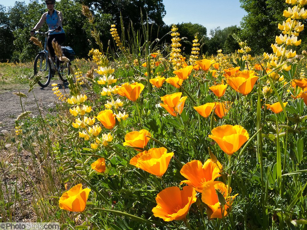 The California poppy (Eschscholzia californica) is the official state flower of California, USA. A bicyclist rides through a park in Chico.