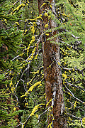 """Yellow lichen grows on a tree in Bugaboo Provincial Park, in the Purcell Range of the Columbia Mountains, British Columbia, Canada. Most tourists are attracted by nearby Canadian Rockies parks along fast paved highways and skip gravel logging roads, thereby leaving the spectacular """"Bugaboos"""" as a quiet retreat for hikers, climbers, and luxury CMH helicopter guests. Directions: From Brisco (about 44 kms north of Invermere on Hwy 95), follow signs to Bugaboo Provincial Park and CMH Lodge on a gravel logging road. After 47 kms, turn right on a rougher road to reach Cobalt Lake trail head and Kain Hut trail head, or continue straight along Bugaboo Forest Service Road. Before you reach the gate of luxury CMH Bugaboo Lodge, a left turn crosses Bugaboo Creek bridge: then a left reaches Bugaboo Septet Recreation Site (4 primitive campsites in a free, user-maintained campground reachable by 2WD vehicles) or straight up takes 4WD vehicles and hikers to Chalice Creek trailhead."""