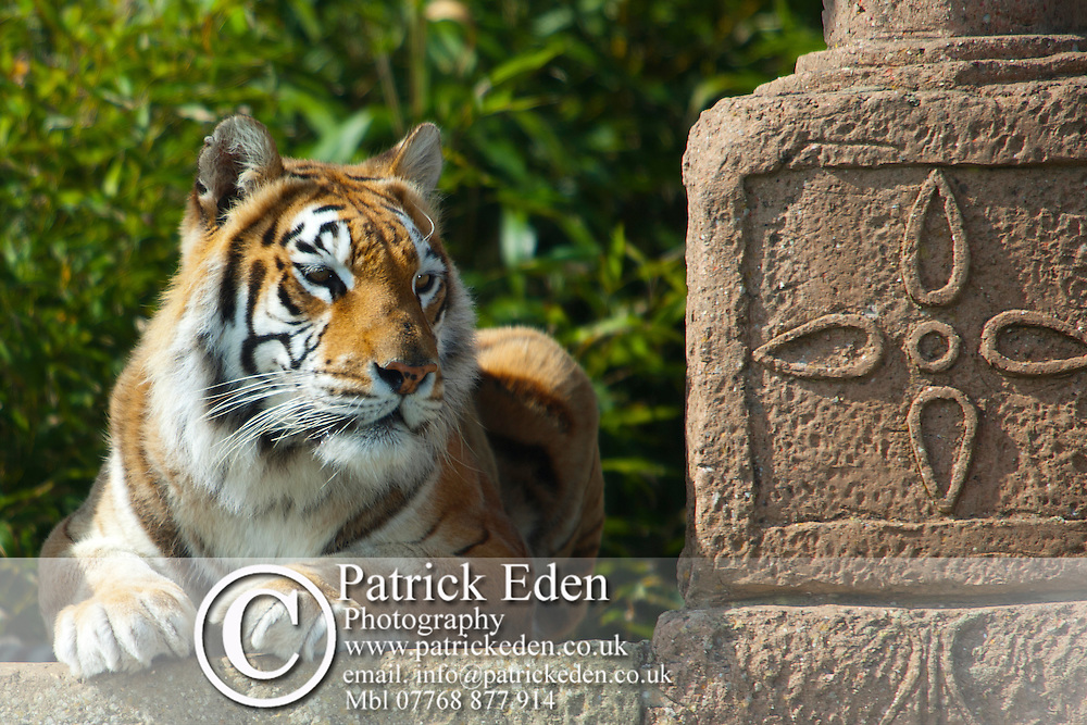 Animal Mammal Bengal Tiger Sandown Zoo Isle of Wight England UK Photographs of the Isle of Wight by photographer Patrick Eden photography photograph canvas canvases