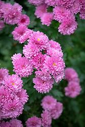 Chrysanthemum 'Mr. Mappie'