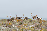 Ostrich flock running along a coastal ridge, Namaqua National Park, Northern Cape, South Africa,