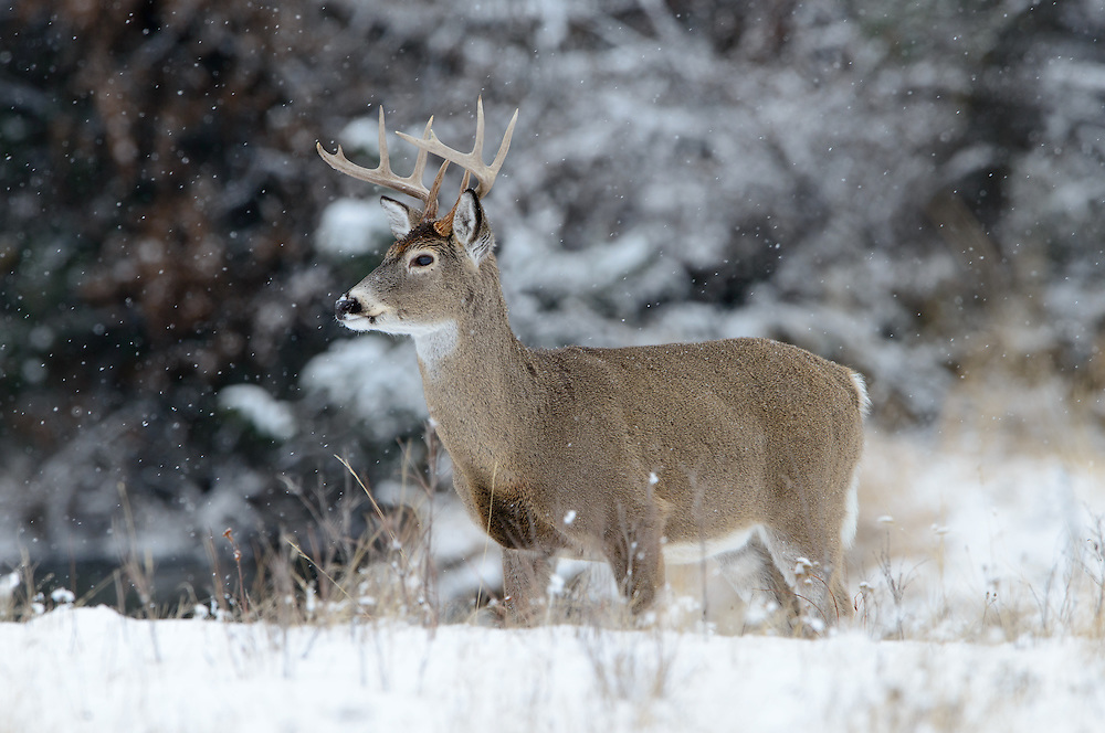 A white-tailed buck (Odocoileus virignianus) during a late Autumn snow fall, Northern Rockies