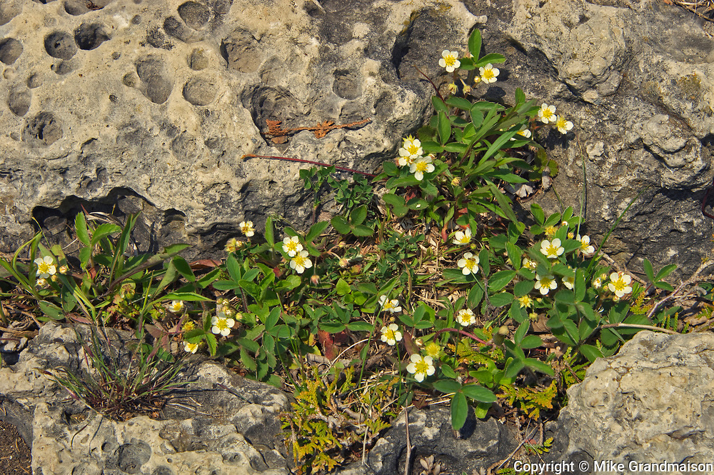 Strawberries on Limestone rock on shore of Georgian Bay<br />